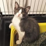 Celien [chaton], Chaton europeen à adopter