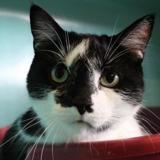 Elioz, Chat europeen à adopter