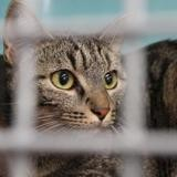 Milka, Chat europeen à adopter