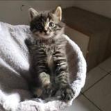 Sybille *réservé*, Chaton europeen à adopter