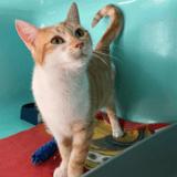 Rosalia, Chat europeen à adopter