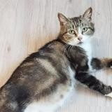Marguerite, Chat europeen à adopter