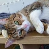 Toblerone cha13766, Chat europeen à adopter