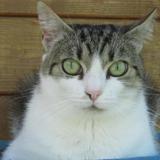Priska, Chat europeen à adopter