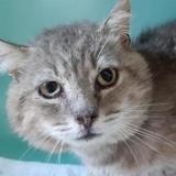 Maxou, Chat europeen à adopter