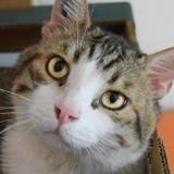 Karadok, Chat européen à adopter