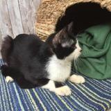 Boski , Chat européen à adopter