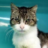 Machoc, Chat europeen à adopter