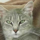 Roulotte, Chat européen à adopter