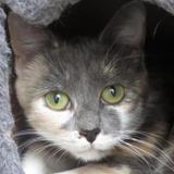 Galadriel, Chat européen à adopter