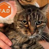 Cleopatre, Chat européen à adopter
