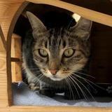 Loulou, Chat européen à adopter