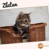 Zlatan (réservé), Chaton européen à adopter
