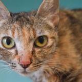 Muscade, Chat européen à adopter