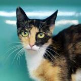 Melvina, Chat européen à adopter