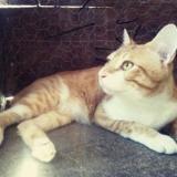 Maboul, Chat européen à adopter