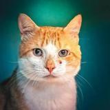 Nelson, Chat européen à adopter