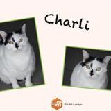 Charli, Chat européen à adopter