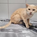 Houmous, Chat européen à adopter