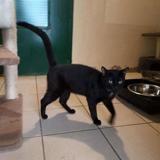 Rufus, Chat européen à adopter
