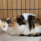 Ondine, Chat européen à adopter
