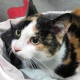 Rosette, Chat européen à adopter