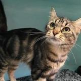 Molly, Chat européen à adopter