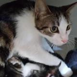 Kali, Chat européen à adopter