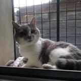 Roxy, Chat européen à adopter