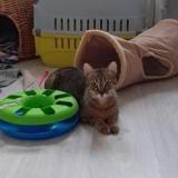 Lys, Chat européen à adopter