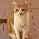 Mika, Chat européen à adopter