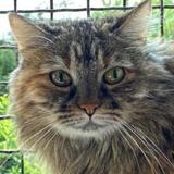Clochette, Chat européen à adopter