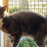 Max, Chat européen à adopter