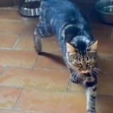 Linette, Chat européen à adopter