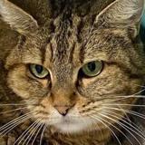 Gaufrette, Chat européen à adopter