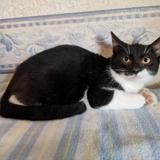 Domino, Chaton européen à adopter