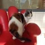 Pavie, Chat européen à adopter