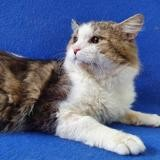 Frost cha13769, Chat européen à adopter