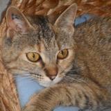 Otilia 7 mois, Chaton européenne à adopter