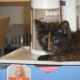 Pétunia 2 mois, Chaton européenne à adopter