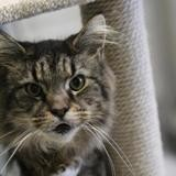 Brownie, Chat maincoon à adopter