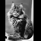 Lib , Chat maincoon à adopter