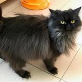 Olympe, Chat persan à adopter