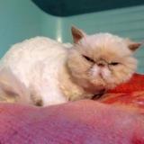 Déesse, Chat persan à adopter
