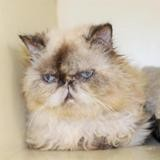 Penelope pab23268, Chat persan à adopter
