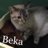 Beka, Chaton siamois à adopter