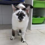 Jack, Chat siamois à adopter