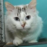 Paillette a13952, Chat siamois à adopter