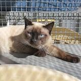 Booba, Chat siamois à adopter