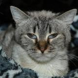 Hydro a13854, Chat siamois à adopter